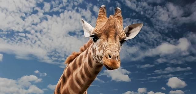 Ideális háziállat-e a zsiráf?