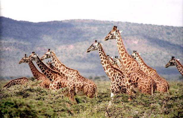 Igen, csak a fiatal zsiráfok később elvadulnak
