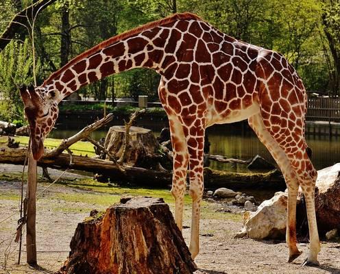 A zsiráfnak hosszú nyaka van