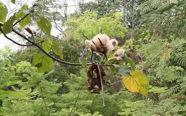 Balsafa: Dél-Amerika trópusi esőerdeiben honos faféle