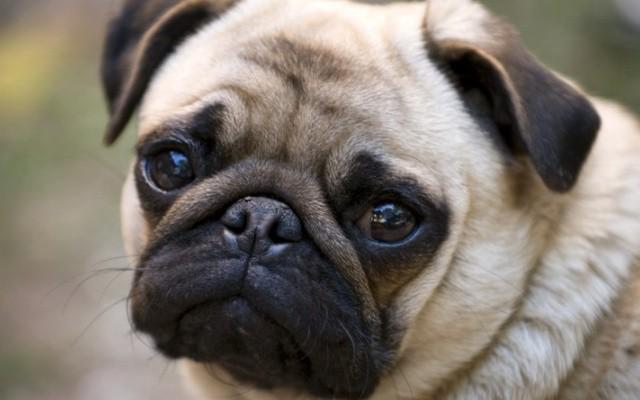 Egészséges dolog-e a kutyát lakásban tartani?