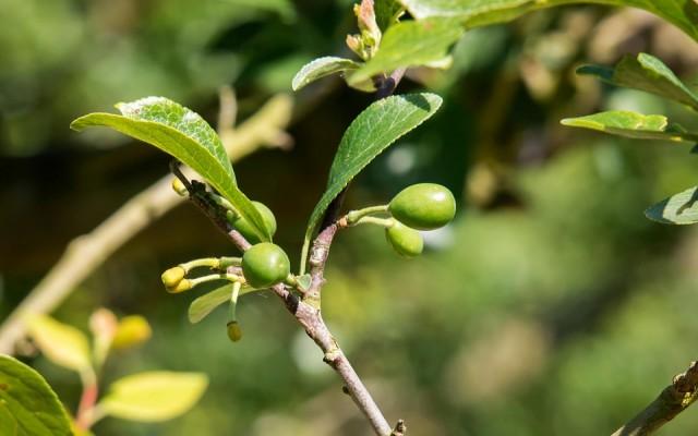 Gyümölcsfák és -bokrok érett gyümölcs nélkül. Felismered például az almafát vagy az eperbokrot?