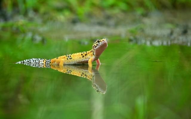 Állati kvíz: Tudod, melyik földrészen él gekkó, csörgőkígyó vagy pingvin?