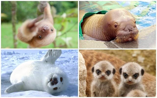Cuki állatkölykök. Felismered őket?