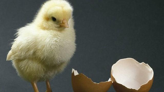 Hány nap, míg a tojásból csibe lesz?