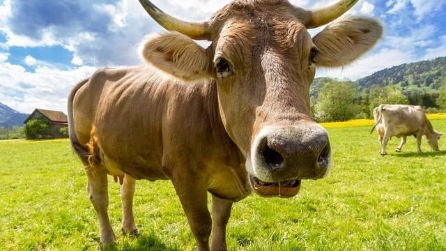 Hogy hívják a hím szarvasmarhát?
