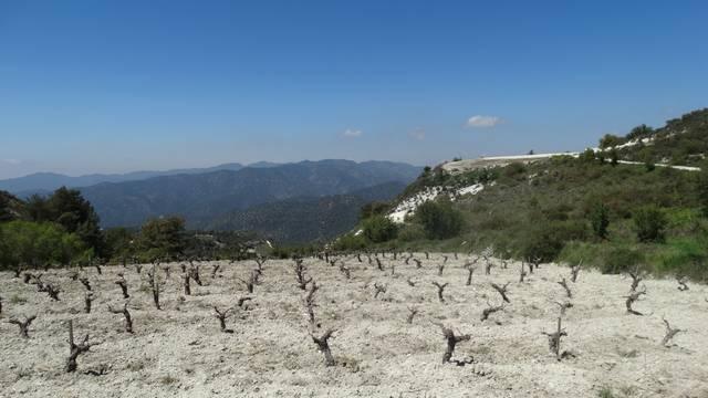 Hol nő a homoki szőlő?