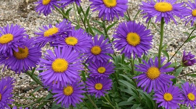 Sziklakerti évelő növény