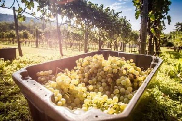 Melyik a legjobb Balaton-felvidéki bor?