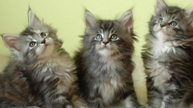 A felsoroltak közül melyik macskafajta?
