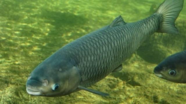 A magyar vizekben is élő halfajta.