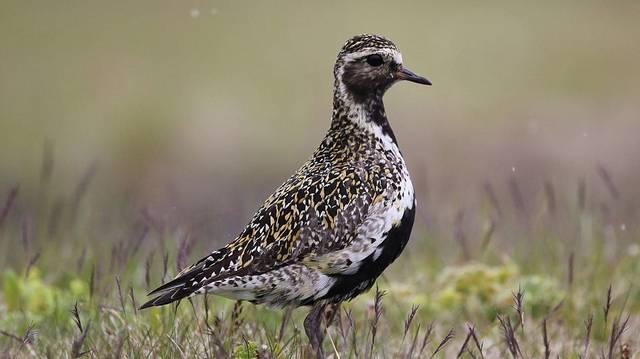 Nyílt tundrák, mocsarak és lápok jellegzetes madara.