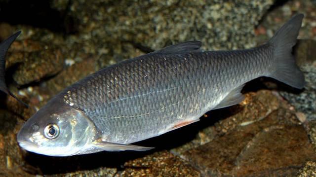 A pontyfélék családjához tartozó hal.