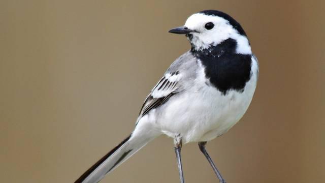 A madarak osztályának verébalakúak rendjébe és a billegetőfélék családjába tartozó faj.
