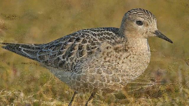 A cankópartfutó a madarak osztályának lilealakúak rendjébe, ezen belül a szalonkafélék családjába tartozó faj.