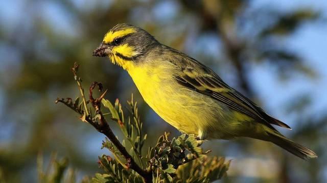 Ő is egy madár. A csicsörke rövid tollú, vastag nyakú, kis csőrű pinty erősen csíkozott alsó résszel.