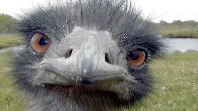 Jelenleg az emu a világ második legnagyobb madara. Nézni azt tud, igaz?