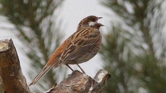 Nevével ellentétben nem kifejezetten a fenyvesek madara.  A nyílt, bokros és tisztásokkal tarkított élőhelyeket részesíti előnyben.