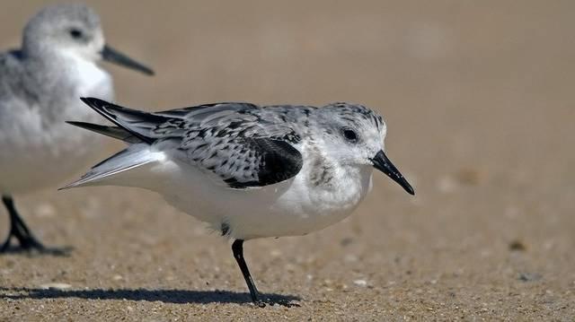Madár. Szívesen táplálkozik a homokos partokon, ahol a hullámok által partra sodort rovarokat és más apró gerincteleneket, kevés növényi eredetű táplálékot válogat.