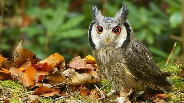 Bagoly. Az egyetlen nálunk költő bagolyfaj, amely vonuló madár. A telet egyébként Afrikában tölti.