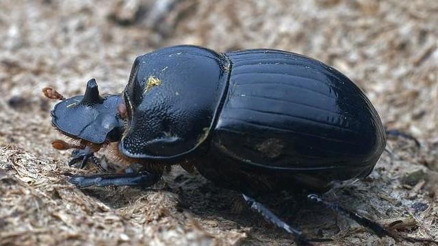 A ganajtúró számos lemezescsápú bogár összefoglaló neve, melyek trágyában élnek és fejlődnek.