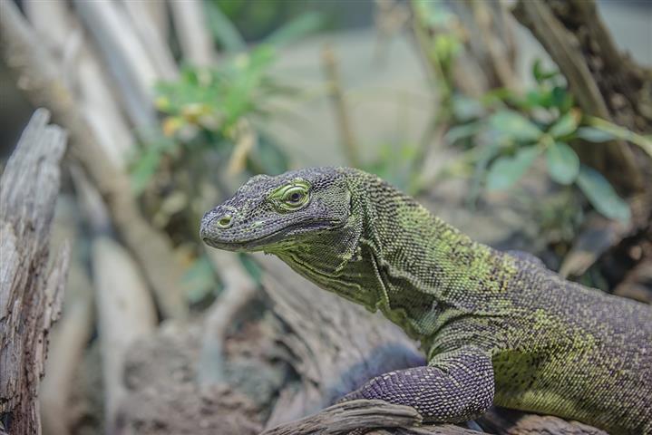 Hüllő. Egyes fajok az elrejtőzés érdekében vagy udvarláskor változtatni tudják a színüket.