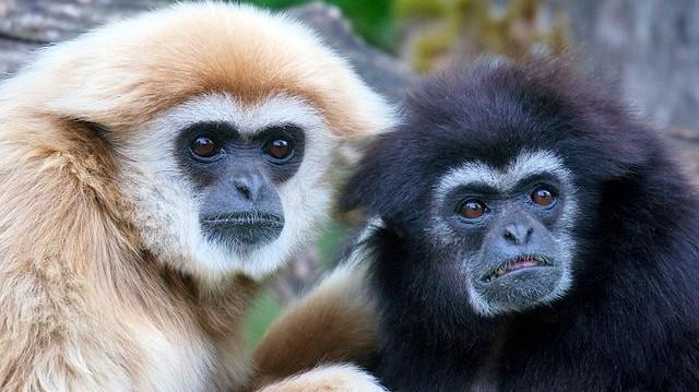 Emlős. Az emberszabású majmok közül csak ők élnek monogám kapcsolatokban.