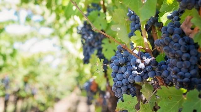 Ez a szőlő préselése után visszamaradt szárazanyag