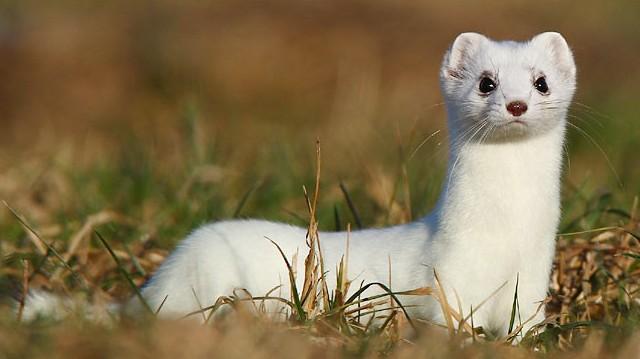 Emlős. Természetes ellenségei főként a baglyok, rókák, macskák – valamint az ember, aki értékes bundája miatt csapdázással ritkítja.