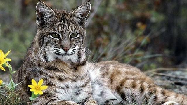 Macskaféle. Magányosan élő állat, változatos méretű, 10-100 négyzetkilométer kiterjedésű területet birtokol.