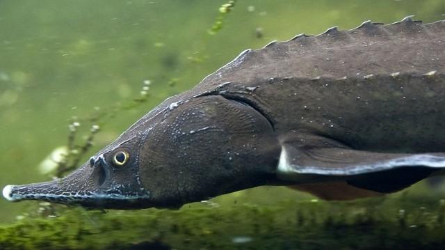 Csontos hal.  A Tiszában honos fajta.