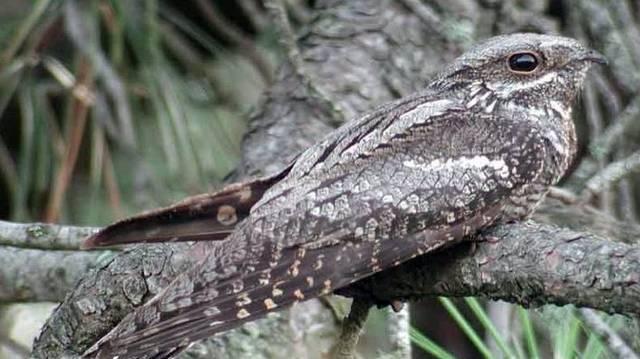 Madár.  Az éjszaka sötétjében repülve vadásznak rovarokra. Nappal tökéletesen álcázza magát az ágakon.