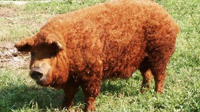 Emlős. Magyarországon őshonos, törvényileg védett háziállatok egyike, világhírű sertésfajta.