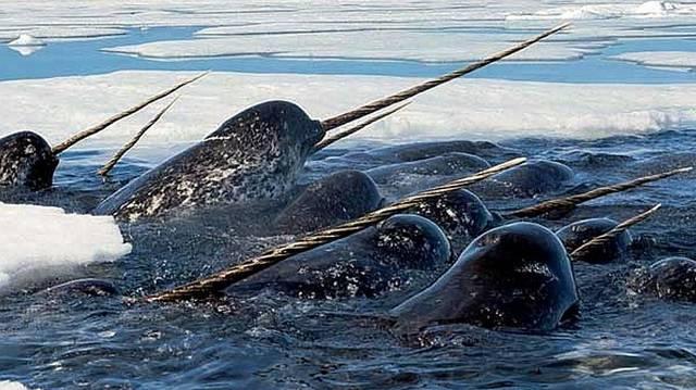 Emlős. Hatalmas cetféle. Akár 3 m hosszú is lehet az agyara.