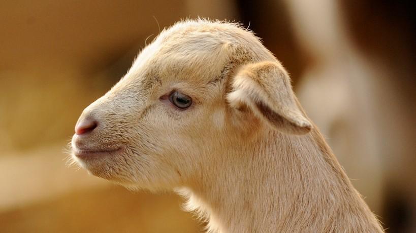 Hogy hívják a kecske kicsinyét?