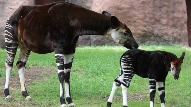 Emlős. A zsiráf rokona. Helyes pizsamában.