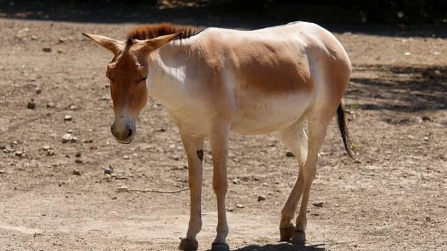 Az onager a lófélék családjába tartozó nagy testű emlős, vadszamár.