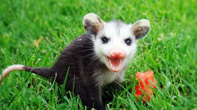 Erszényes emlős. Az oposszumok hasonlítanak legjobban az ősi erszényesekre, így igazi élő kövületeknek számítanak az emlősök között.