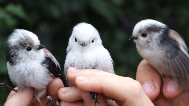 Áttelelő madár, egész évben itt marad. A párok végtelenül gyöngédek egymáshoz.