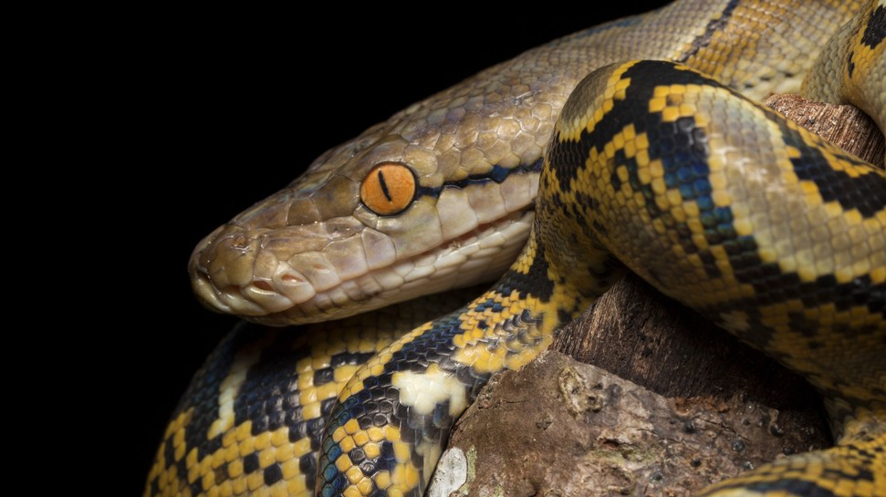 Pikkelyes hüllő, kígyó.