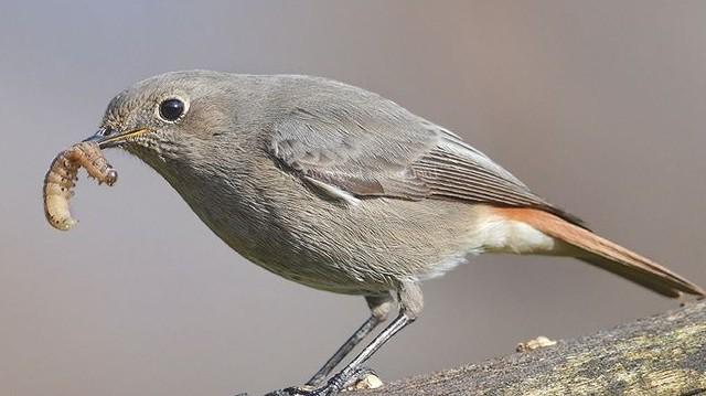 """Madár. A Magyar Madártani és Természetvédelmi Egyesület 2004-ben """"Az év madaraivá"""" választotta a rozsdafarkúakat."""