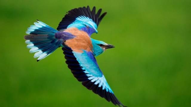 Nagy, varjúszerű madár, feltűnő, élénk színű tollazattal.