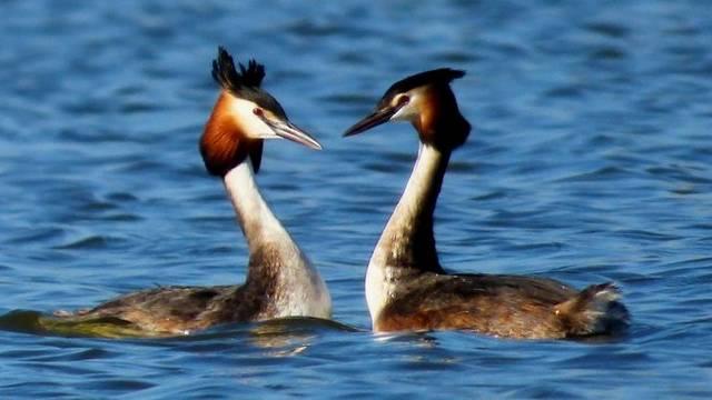 Madár. Úszó és bukó madár. Mikor hideg a víz, a szülők általában a hátukon szállítják a fiókáikat.
