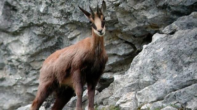 Emlős, párosujjú patás. Meredek hegyoldalakon is biztonságosan elvan.