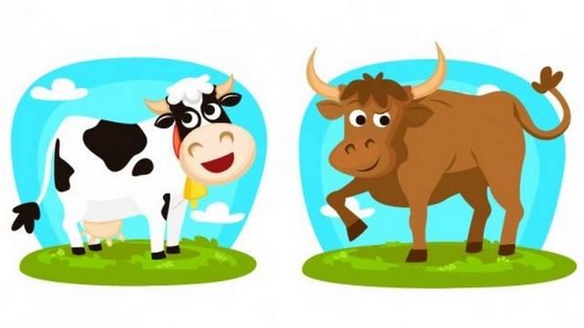 Hogy hívják a nőstény szarvasmarhát?