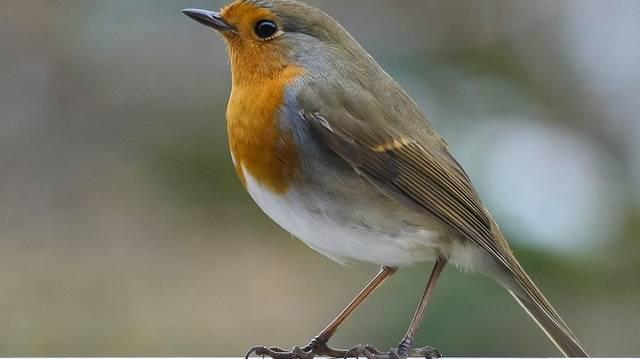 Igaz-e, hogy a madarak kettős légzésűek, azaz ki- és belégzéskor is történik gázcsere?