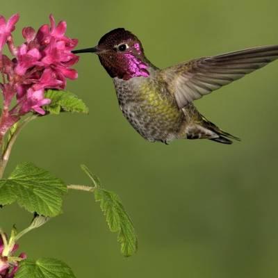 Ez kolibri?