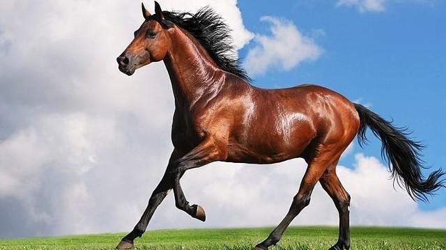 Hogy nevezzük a fajtiszta, kiváló lovakat?