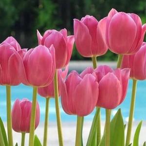 Ez a tulipán?