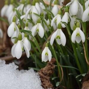 A hóvirág virágzik legkorábban?
